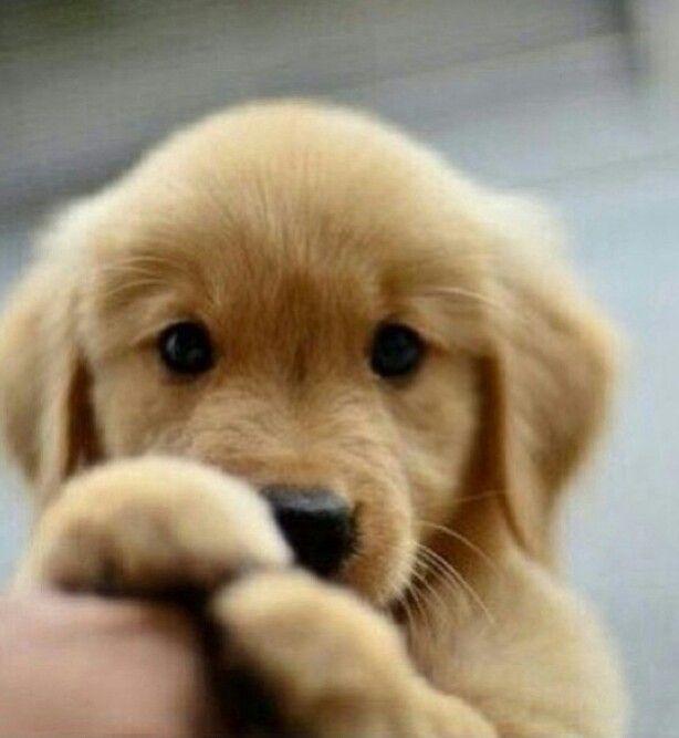 Cute #golden #retriever puppy