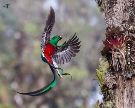 Beautiful Quetzal from Costa Rica, always cheers me up
