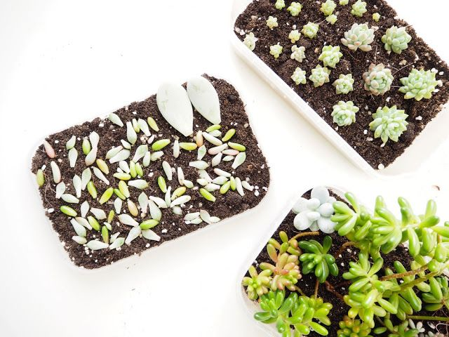 Win 15 Succulent Cuttings - Ready To Propagate  UK ONLY