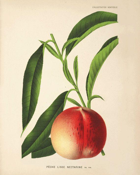 Nectarine Vintage fruit print Botanical Prints Home Decor