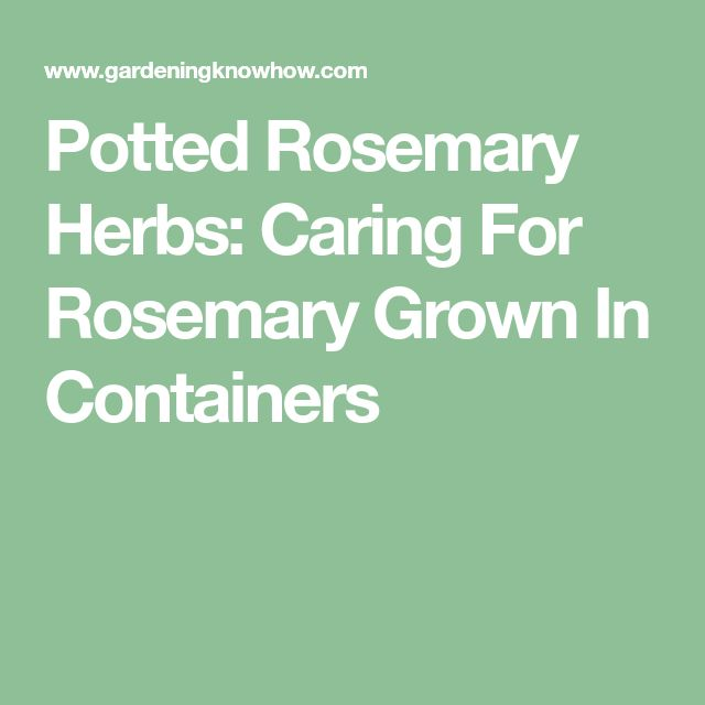Potted Rosemary Herbs: Caring For Rosemary Grown In Containers