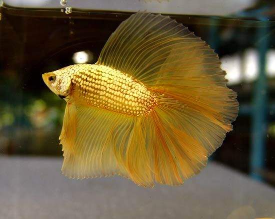 О Бойцовая рыбка: Золотой полумесяц Бойцовая рыбка