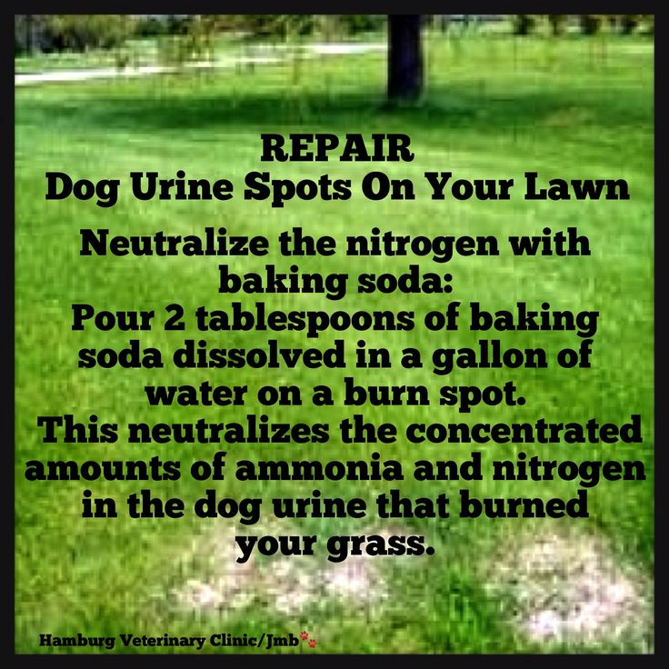 A Natural Way to REPAIR Brown Grass from Dog Urine. Pouring 2 tablespoons of baking soda dissolved in a gallon of water on a burn spot neutralizes the concentrated amounts of ammonia and nitrogen that's in the dog urine and burns the grass. The grass comes back green and healthy and you don't have to worry about the dogs walking through a yard full of lawn chemicals and possibly ingesting something toxic when they lick their paws.