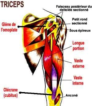 anatomie du triceps brachial , muscle postérieur du bras