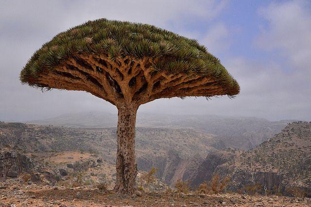 Dragon Blood Tree (Dracaena cinnabari)