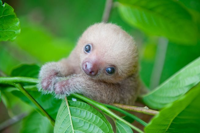 """Baby sloth. """"With their sweet, squishy faces and lazy movements, sloths are one of the most squee-worthy animals on the Internet. Sadly, these sluggish tree-dwellers are also increasingly threatened in their native forests of Central and South America."""" Click the pic to read more"""
