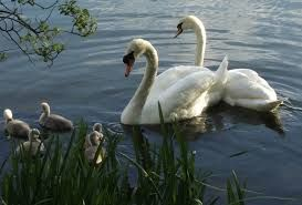 Image result for swans