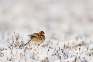 Meadow pipit - Photograph: Stephen Street/