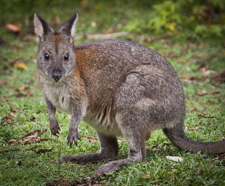 Aussie Lawnmower. #Australia #Marsupial #Wildlife http://jason.bennee.com/blog/2018/03/rednecked-pademelon/