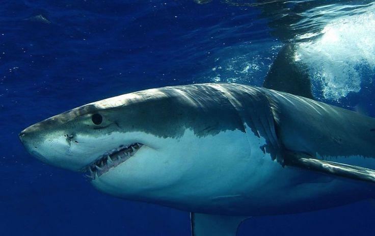 PHOTOS –Le grand requin blanc Depuis quinze ans, l'espèce a diminué de presque 80%. Il ne resterait que 20 à 30 de ces requins en Méditerranée. En cause, la pêche autorisée jusqu'en 2000. La mâchoire de l'animal peut en effet être vendue 20.000 euros. Photo : SIPA– metronews