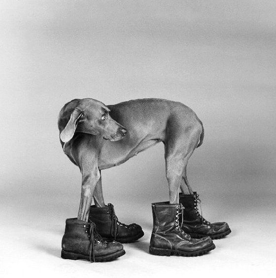 Wegman and Man Ray: Doc Martens, Weimaraner, Man Ray, Dogs Photography, Manray, Williams Wegman, Dogs Photos, Dogs Pictures, Boots