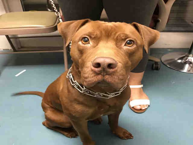 Urgent Staten Island - CANELA - #A1093883 - FEMALE BROWN PIT BULL MIX, 3 Yrs - OWNER SUR - EVALUATE, NO HOLD Reason NO TIME - Intake 10/18/16 Due Out 10/18/16