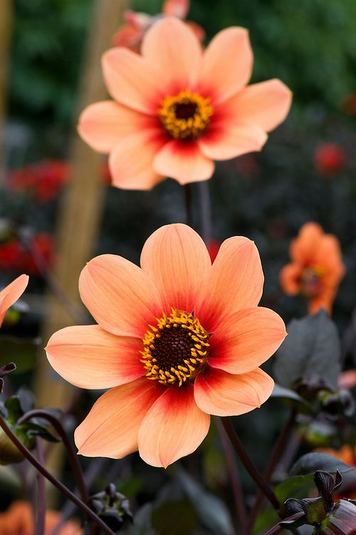 Dahlia 'Happy Single Date'
