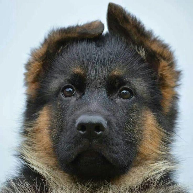 ~ German shepherd Dogs