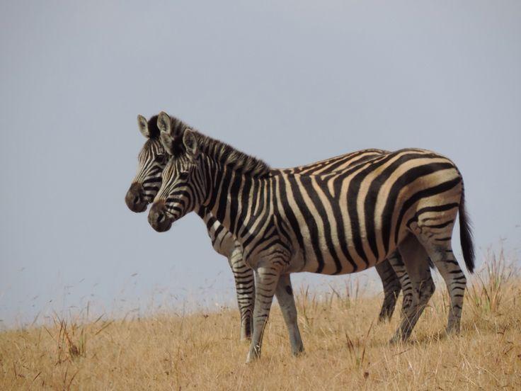 Zebra in Golden Gate National Park.