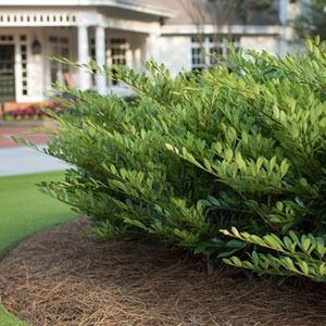 Boxwoods are a popular drought-tolerant shrubs, but they're not the only choices when you want to save water in your yard. We have suggestions for tough plant selections cope with dry spells and look great all year long. See more about drought-tolerant plants at The Home Depot's Garden Club.