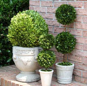 Preserved Boxwood Double Ball Topiary 30 Inch