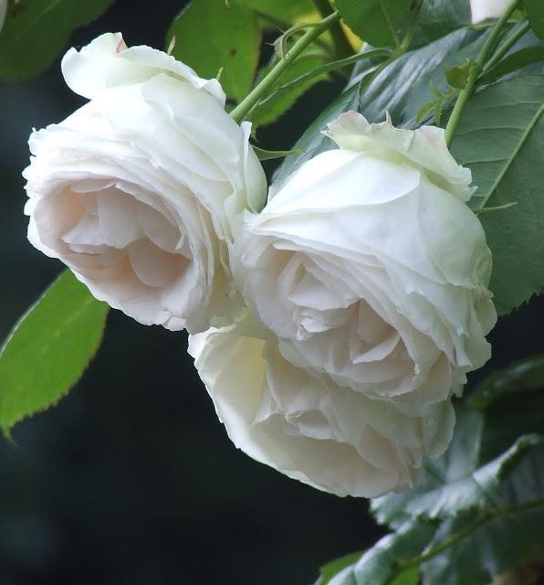 rosas no jardim |
