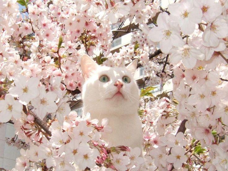 Cherry blossom cat!