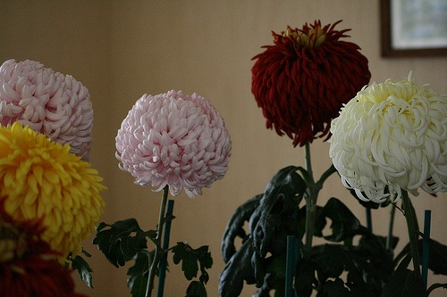 'Mark's Chrysanthemums'