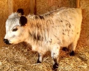 Miniature Cows for Sale | Mini Cow For Sale | Lovable Little Ones - Loveland, CO