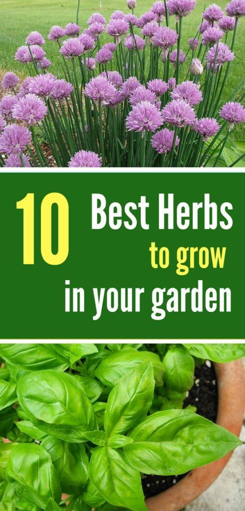 10 herbs that are super easy to grow vegetable garden pinterest rh br pinterest com