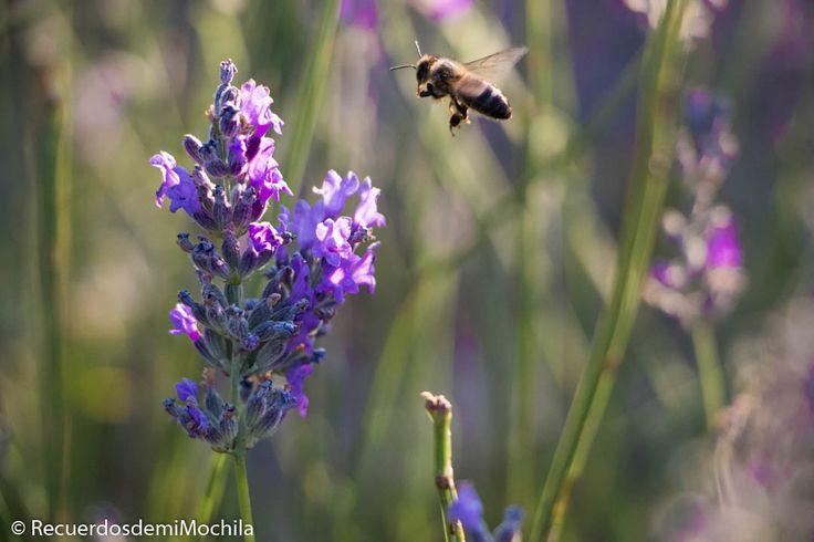 Las abejas y la #Lavanda un amor de Julio en #Brihuega