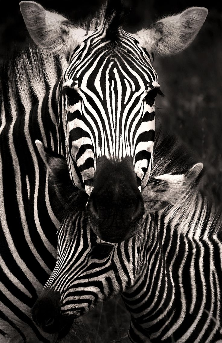 """Zebra Love"" I find it so fascinating how zebras when they are foals memorize their dam's markings."