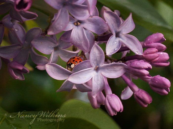 ladybug on lilac flowers