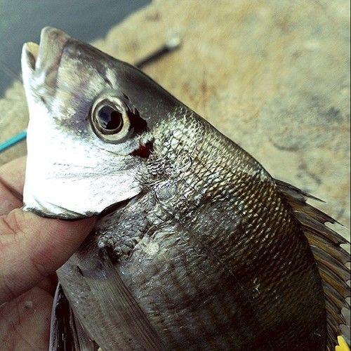 Sarago maggiore #pesca #fishing #sea #mare #elba #portoazzurro http://ift.tt/1iPFyaH