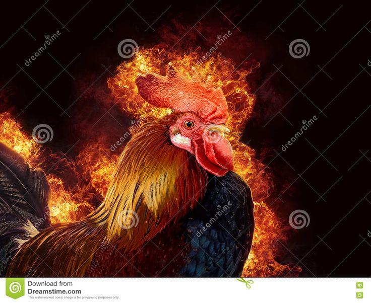 Gallo Rosso In Fiamma Fotografia Stock