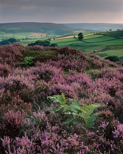 Yorkshire moor with heather - straight out of my favorite childhood book, The Secret Garden