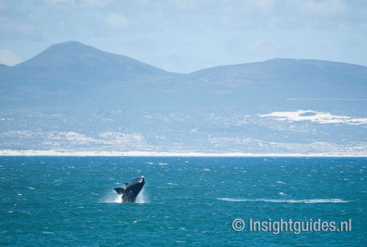 Walvissen voor de kust van Hermanus, Zuid-Afrika.