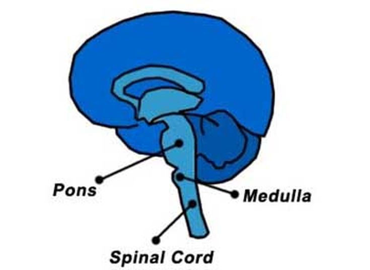 Learn the Basic Structures of Brain Anatomy: The Brain Stem