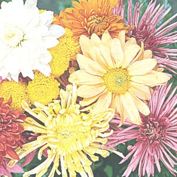 Most Up To Date Totally Free Chrysanthemum Morifolium Concepts Chrysanthemums Also Known As Mums With Their Close Friends Tend To Be Late Season Bloom Mumlar
