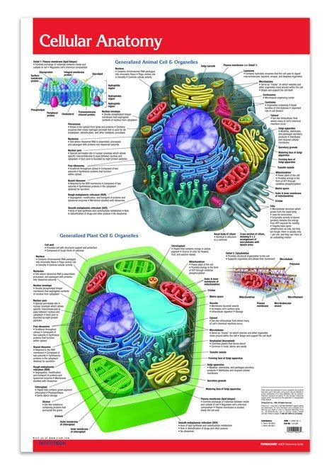 This Cellular Anatomy poster guide reference guide is a must. The constituent elements of both human cells and plant cells are described in this helpful Guide. Colour diagrams clearly depict figures a