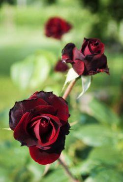 Come piantare le rose | Rosai | Piantagione | Potatura, piantagione e cura | Bakker