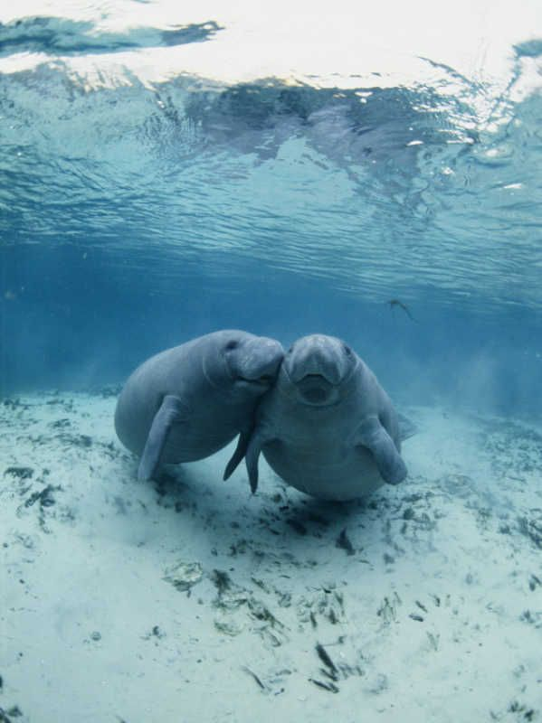 An Underwater Shot of a Pair of Florida Manatees Photographic Print by Brian J. Skerry