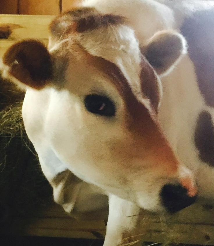 Baby Cow Loves To Play Hide-And-Seek With The Woman Who Saved Him He was just a day old when people tried to sell him for a few dollars.