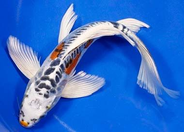 Most beautiful koi fish the history of butterfly koi for Japanese koi fish names