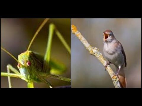 Masteran Burung Murai : Mix Belalang Raja dan Nightingale