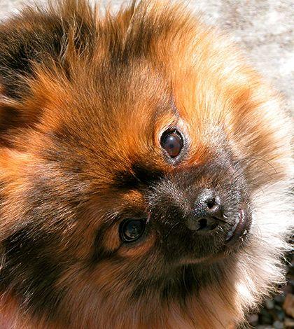 Pomeranian Rescue Story: Tonks