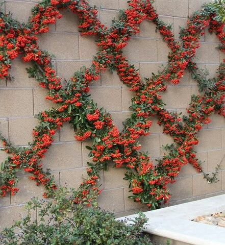 Grown-out, manicured, floral vine on wire trellis on concrete wall...awesome!