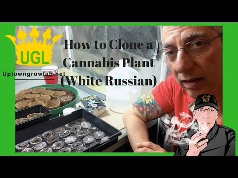 How to Clone Cannabis - White Russian Strain -  https://i3.ytimg.com/vi/fG3N-iI0J88/hqdefault.jpg - https://tokenbudz.com/2017/02/12/how-to-clone-cannabis-white-russian-strain/