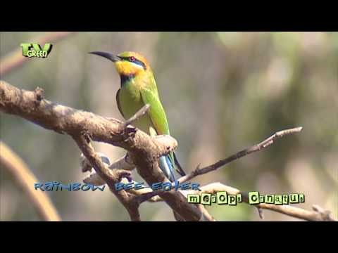 Rainbow bee eater - merops ornatus - Regenboogbijeneter   The Rainbow bee-eater is found in Australia, as well as eastern Indonesia, New Guinea and, rarely, the Solomon Islands.
