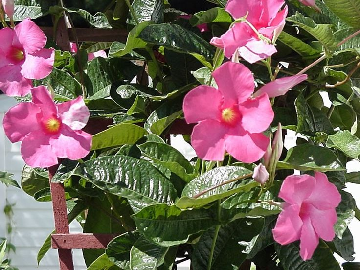 Have you ever tried to winter-over a Mandevilla vine  ( Mandevilla spp. ) indoors?  I am trying it this year and would like to pass on in...