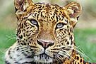 http://wwf.panda.org/how_you_can_help/support_wwf/donate Amur leopard (Panthera pardus orientalis)
