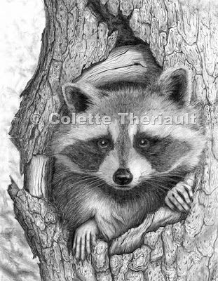 pencil+drawing+raccoon | Raccoon wildlife pencil drawing