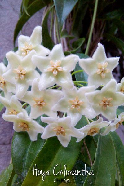 Hoya chlorantha