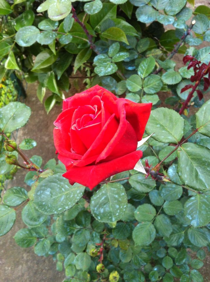 The red rose: foto 30x40